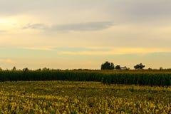 玉米收获开始了 免版税库存照片