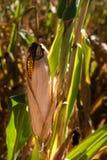 玉米收获时间 免版税库存图片