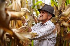玉米收获的老人 免版税库存图片