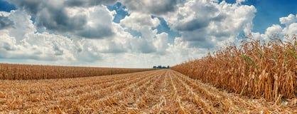 玉米收获  库存图片