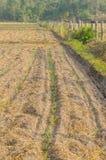玉米新芽 免版税库存图片