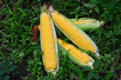 玉米新鲜的庄稼  免版税库存照片