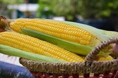 玉米新鲜的庄稼  免版税库存图片