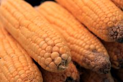 玉米新鲜蔬菜 玉米棒子行  免版税库存图片