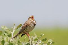 玉米旗布/Emberiza calandra/唱歌。 图库摄影