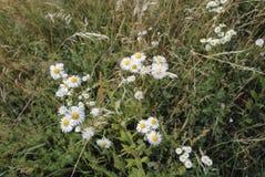 玉米春黄菊`春黄菊属在伦敦公园的arvensis ` 免版税库存照片