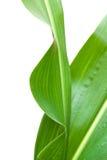 玉米查出的叶子白色 免版税库存图片