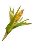 玉米查出的白色 库存图片