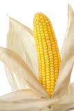 玉米棒全部的玉米壳 免版税图库摄影