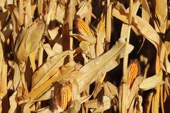 玉米棒子的成熟黄色耳朵在一个培养的农业地区 收获青贮的成熟收获准备牛的 A 免版税库存图片