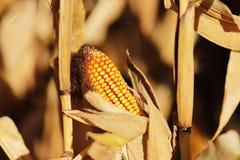 玉米棒子的成熟黄色耳朵在一个培养的农业地区 收获青贮的成熟收获准备牛的 A 免版税库存照片
