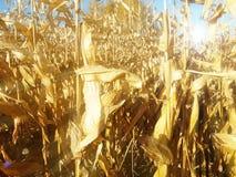 玉米棒子的成熟黄色耳朵在一个培养的农业地区 收获青贮的成熟收获准备牛的 A 图库摄影