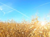 玉米棒子的成熟黄色耳朵在一个培养的农业地区 收获青贮的成熟收获准备牛的 A 库存图片