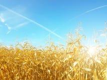 玉米棒子的成熟黄色耳朵在一个培养的农业地区 收获青贮的成熟收获准备牛的 A 库存照片