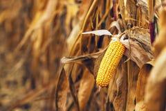玉米棒子的成熟黄色耳朵 免版税库存照片
