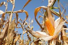 玉米棒子黄色和成熟 免版税图库摄影