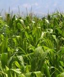 玉米浇灌 免版税库存照片