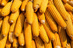 玉米烘干了 免版税库存图片