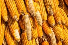 玉米烘干了 免版税图库摄影
