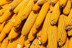 玉米烘干了 图库摄影
