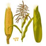 玉米玉米传染媒介例证 现实手拉的植物的被隔绝的例证 免版税库存照片