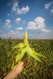 玉米玉米棒在他的手上在领域 库存图片