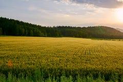 玉米田和森林日落 免版税图库摄影