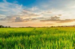 玉米田和绿色领域风景与日落在农场, 库存照片