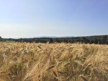 玉米田和蓝色秋天天空 库存图片