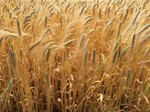 玉米田在夏天在一个晴天 免版税库存照片