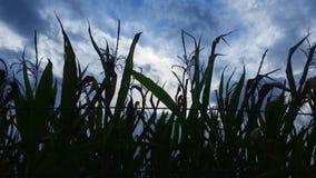 玉米田在夏天结束时 库存照片