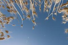 玉米田在夏天从下面 免版税图库摄影