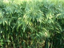 玉米田在夏天 免版税图库摄影