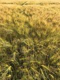 玉米田在夏天 免版税库存照片