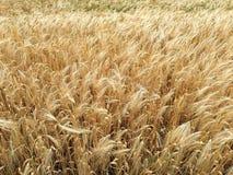 玉米田在夏天 免版税库存图片