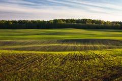 玉米田在早期的春天 库存照片