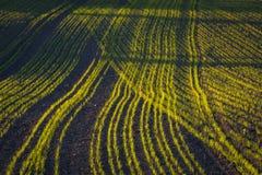 玉米田在早期的春天 免版税库存照片