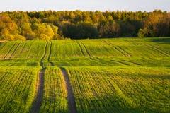 玉米田在早期的春天 免版税库存图片