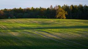 玉米田在早期的春天 免版税图库摄影
