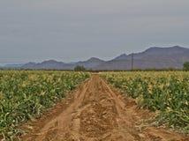 玉米田在沙漠 库存图片