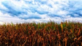 玉米田在热的summet结束时 免版税库存图片