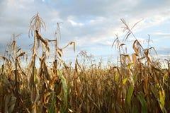 玉米田在秋天 免版税库存照片