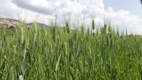 玉米田在阿西西 股票视频