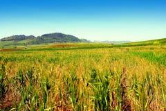 玉米田横向西西里岛夏天 库存照片
