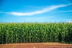 玉米田种植园植物 免版税图库摄影