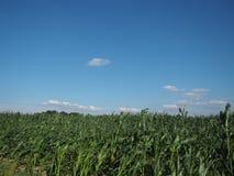 玉米田风景照片,天际视图 库存图片