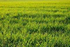 玉米田 免版税库存照片