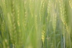 玉米田 免版税图库摄影