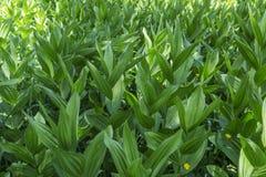 玉米百合在Wasatch山的Melanthieae藜芦 免版税库存图片