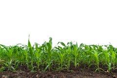 玉米的一个绿色领域 免版税库存照片